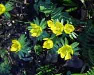 Winterling - Eranthis hyemalis