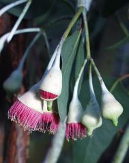 Blaugrauer Eucalyptus - Eucalyptus caesia