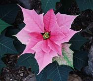Weihnachtsstern - Euphorbia pulcherrima