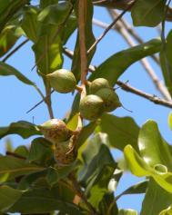 Macadamianuss - Macadamia integrifolia