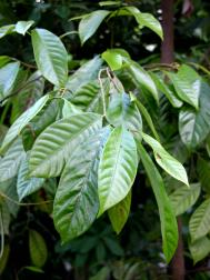 Echter Muskatnussbaum - Myristica fragrans