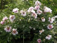 Strauch-Päonie - Paeonia suffruticosa