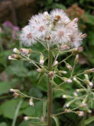 Weiße Pestwurz - Petasites albus