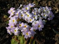 Karnevals-Primel - Primula vulgaris subsp. sibthorpii