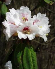 Rhododendron calophytum