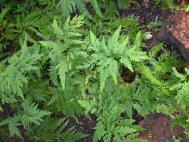 Selaginella pulcherrima