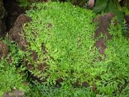 Selaginella serpens