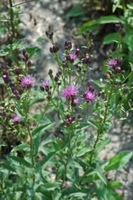 Färberscharte - Serratula tinctoria