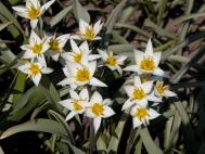 Taschkent-Tulpe - Tulipa bifloriformis