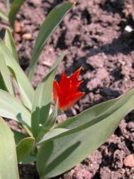 Vortreffliche Tulpe - Tulipa praestans