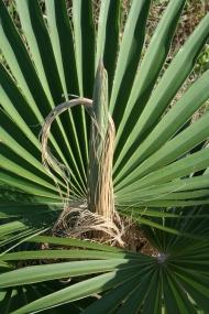 """Die Palme Coccothrinax borhidiana ist nur auf Cuba heimisch. Aufnahme bei Punta Guanos, Matanzas, Cuba. Sonderausstellung """"Grüne Schatzinseln. Botanische Entdeckungen in der Karibik"""" im Botanischen Museum Berlin. Foto: Alejandro Palmarola"""