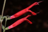 Blüten von Salvia elegans. Foto: G. A. Salazar