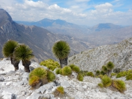 Halbwüste mit Yuccas in Quintana Roo. Foto: H. Ochoterena