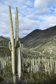 Neobuxbaumia in Tehuacán Cuicatlán. Foto: H. Ochoterena
