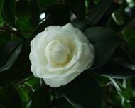 Camellia japonica - Angelo Cocchi