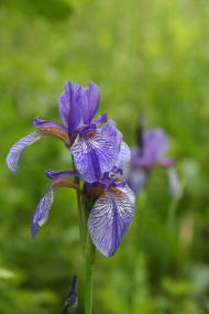 Sibirische Schwertlilie (Iris sibirica). Foto: N. Köster, Botanischer Garten und Botanisches Museum Berlin