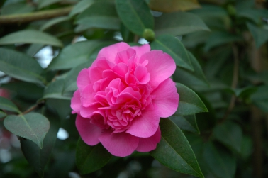 Camellia japonica 'Scentsation' - Kamelie