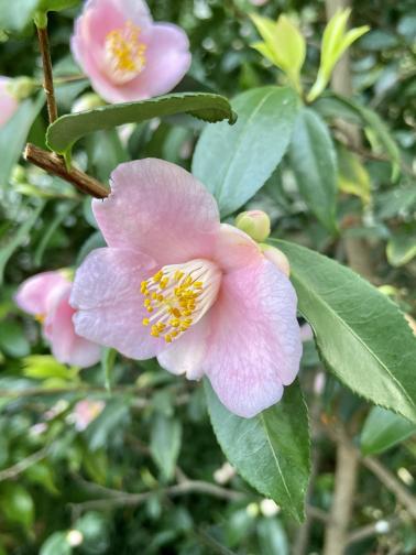 Camellia x 'Duftglöckchen'