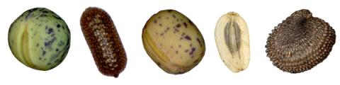 unterschiedliche Samen