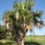 Die in El Salvador heimische Palme Sabal mexicana ist von Mexiko bis Nicaragua verbreitet. Sie ist eine der acht in El Salvador heimischen Palmenarten. Ihre Wedel werden zum Dachflechten verwendet. Foto: Anne Kathrina Gruber