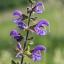 Wiesensalbei (Salvia pratensis). Foto: N. Köster / Botanischer Garten und Botanische Museum Berlin