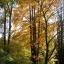 Japanischer Katsurabaum - Cercidiphyllum japonicum