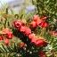 Beeren-Eibe - Taxus baccata