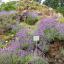 Lavendelblüte in den Seealpen