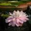 Victoria amazonica - Riesen-Seerose